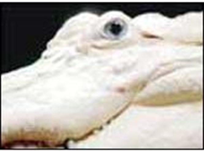 Albino değil, beyaz timsah